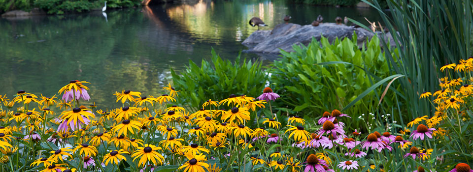 cluster of black-eyed susans and purple cone flowers by pond